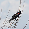 Red-winged Blackbird. Bombay Hook NWR, Delaware, May 2015