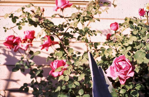 roses_at_rancho.