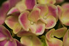 480 Hydrangea Light Pink Yellow Painting