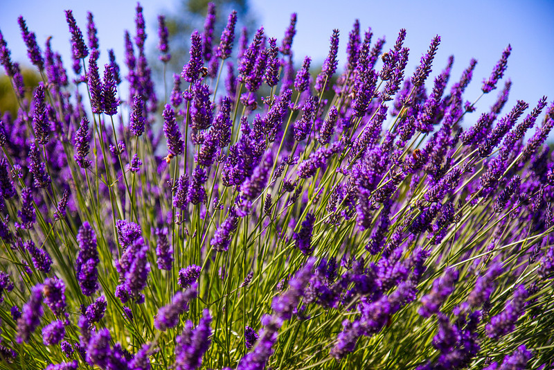 At the Purple Haze Lavender Farm. Really.