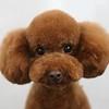 Brown puppy 2