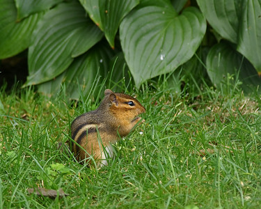 Chipmunk - Gramp's cute little friend that likes his peanuts