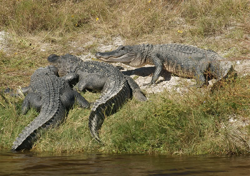 Alligators<br /> <br /> (momench/Dyxum)