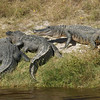 Alligators<br /> <br /> (momench/Dyxum)