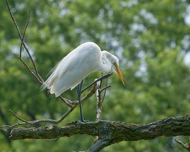 Egret - a very big bird