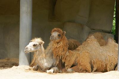 Camels - how many camels?