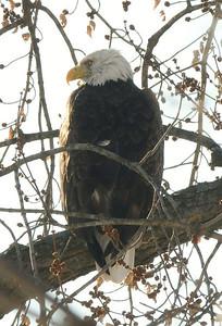 Eagle - a Bald Eagle