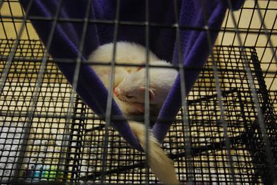 Snowball the ferret