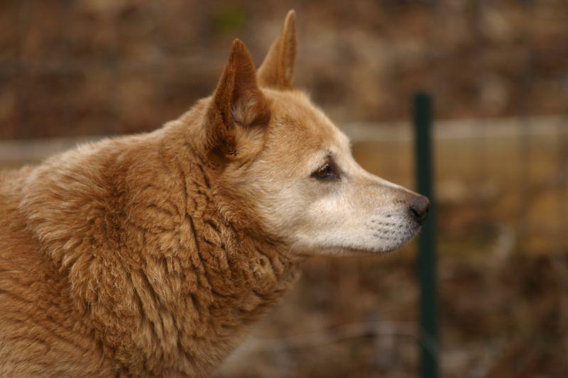 Our dog, Dingo