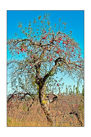 Apple Tree at the Orchard at Altapass on the Blue Ridge Parkway