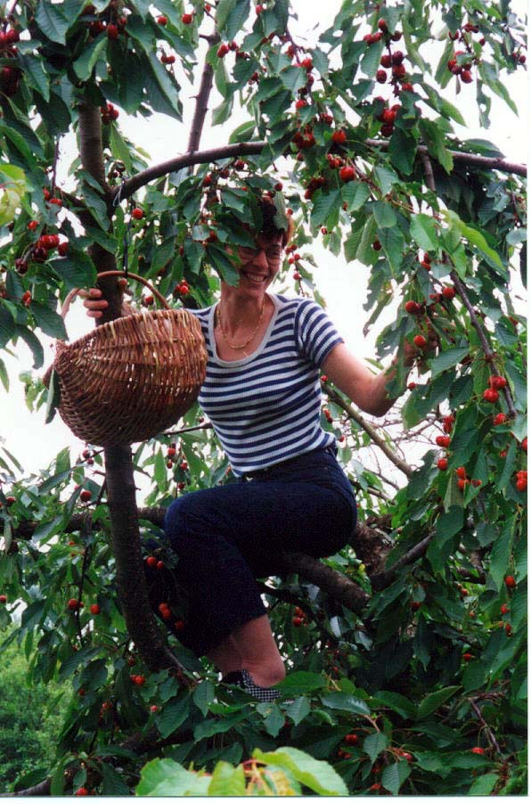 Veronique picking cherries (humm, elles sont delicieuses!)