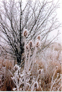 Chardon from Lorraine in Winter