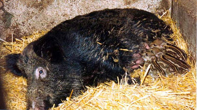 Mother wild boar with babies