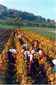 """In 1989, to celebrate the """"centenaire of the French Revolution"""", friends harvested grapes in 19th century costumes."""