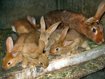 Famille de lapins