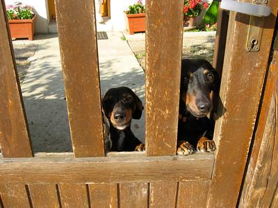 Les chiens font la garde
