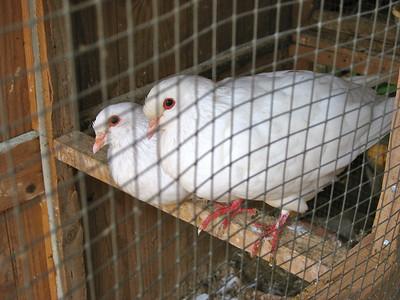 Pigeons a Vigneulles