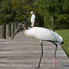 Wood Stork and Fisherman