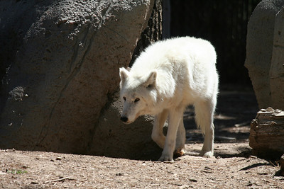 Here is a white wolf looking mischievous...