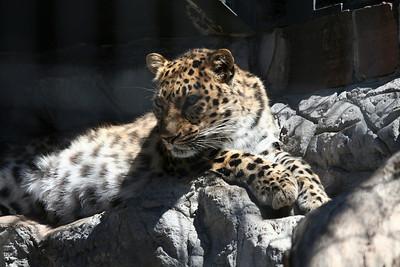 a snow leopard....