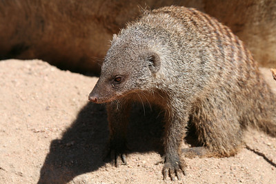and a mongoose....