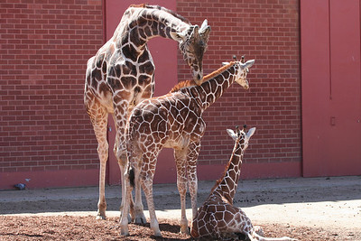 baby giraffes!  Maybe they are twins just like Adam and Ben!!!