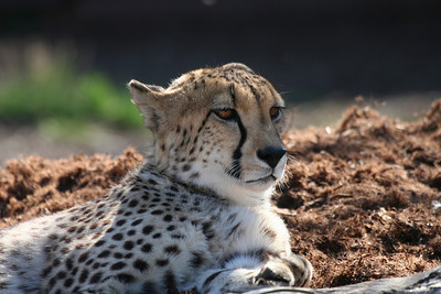 Here is a cheetah lounging in the afternoon sun.