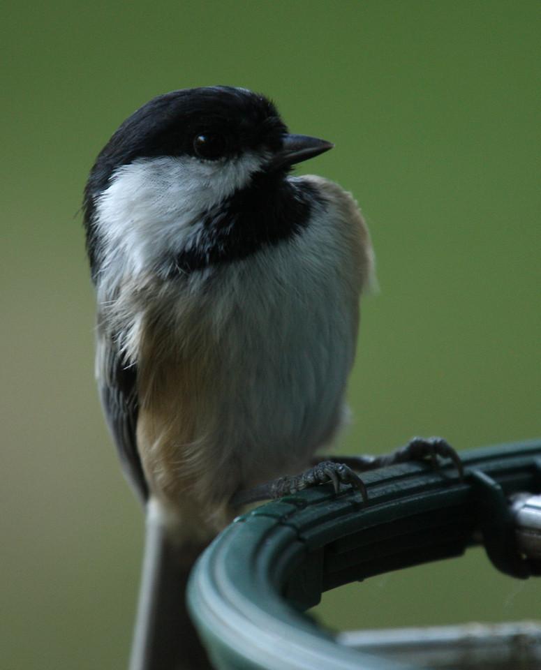 IMG4_13592 Chickadee bird trmzb