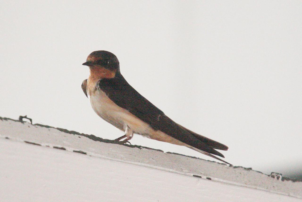 IMG4_19504 Barnswallow bird trmzb
