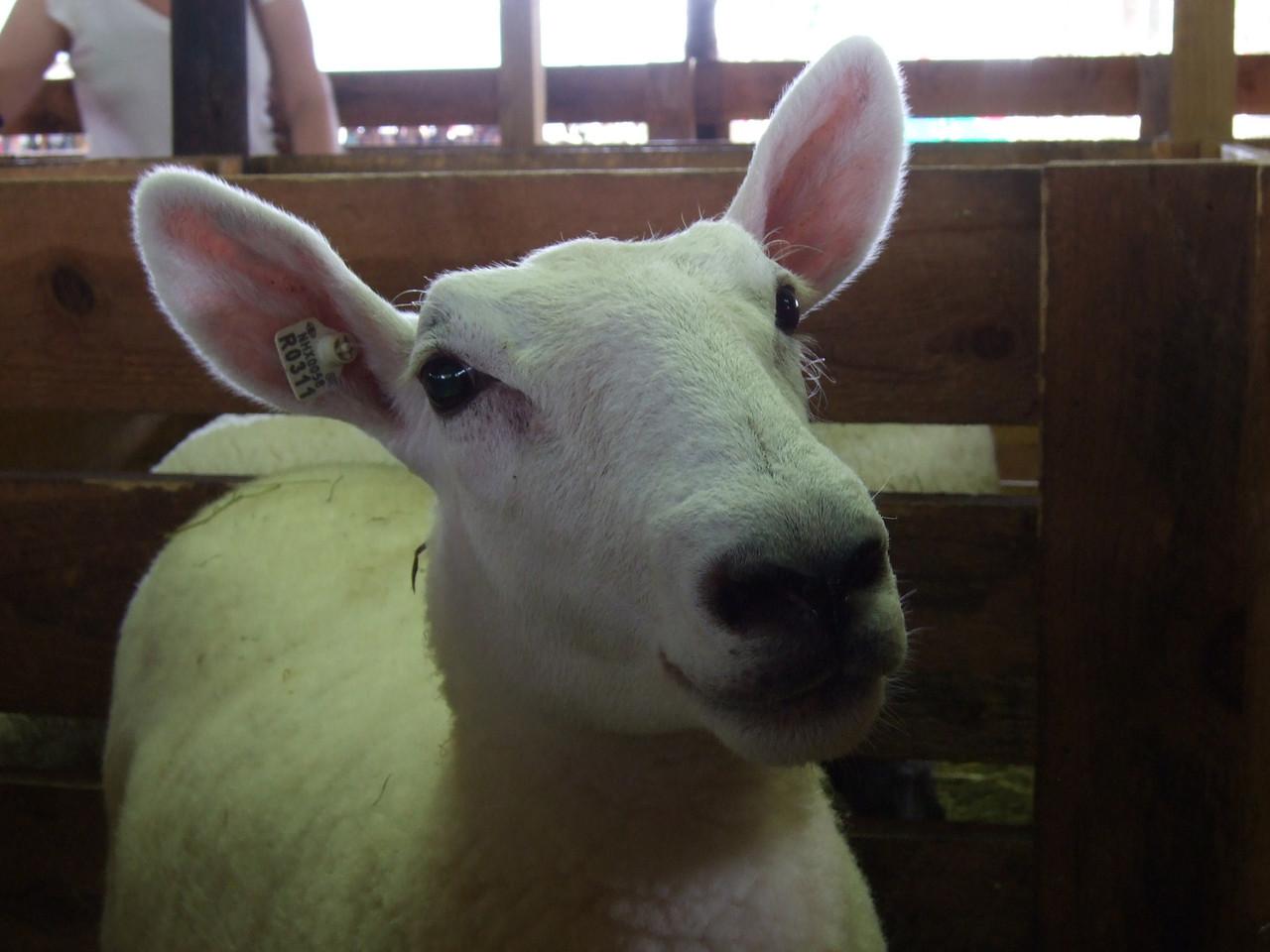 DSCF9770 Sheep at Hopkinton Fair