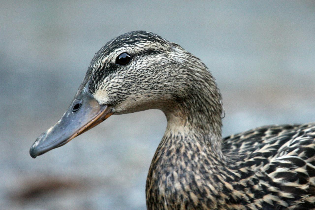 IMG4_18615_IMG Duck in neighbors driveway trmzb