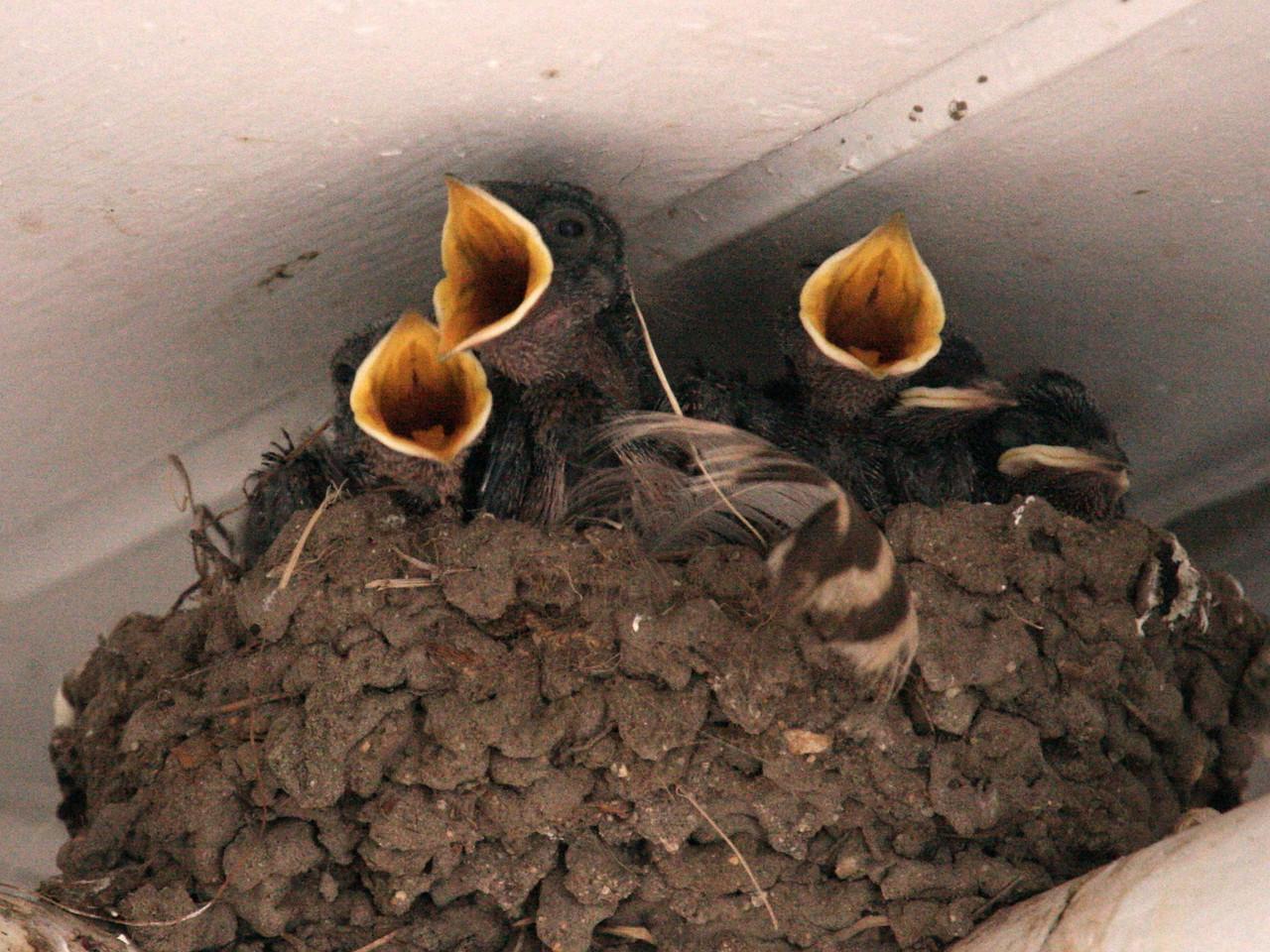 IMG4_19507 swallow bird babies trmzb