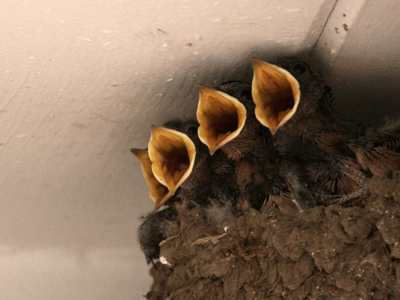 IMG4_19577 Barn swallow bird babies trmzb