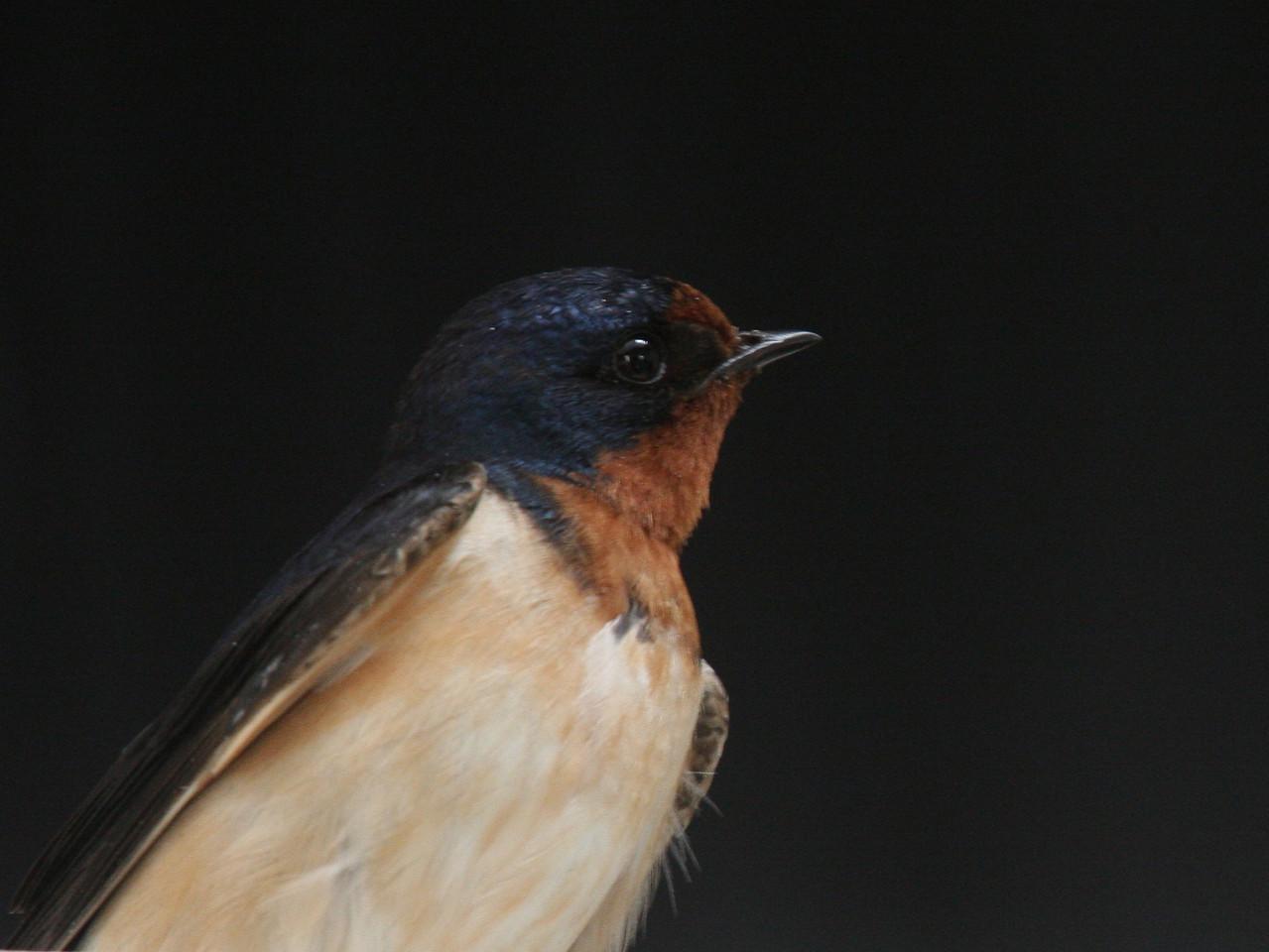 IMG4_19436 swallow bird close trmzb