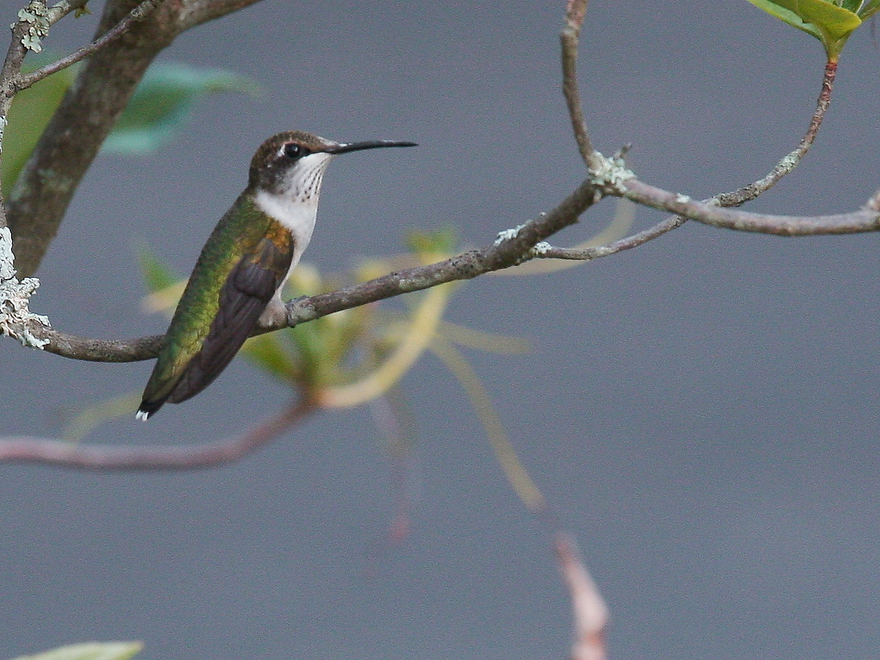 IMG4_29089 Hummingbird DPPtrm