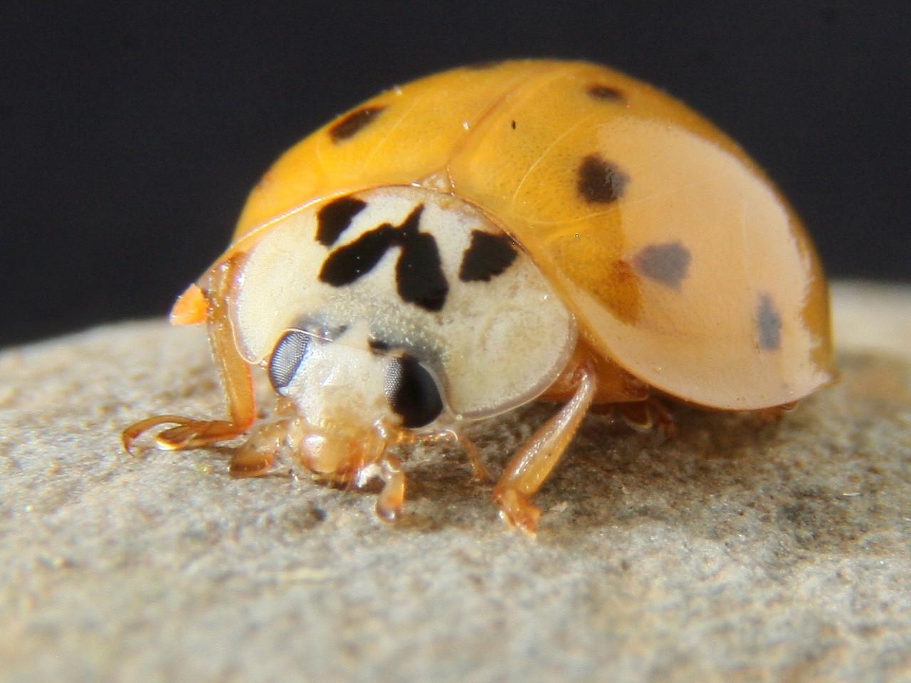 IMG4_28987 Yellow Ladybug DPPtrm1024