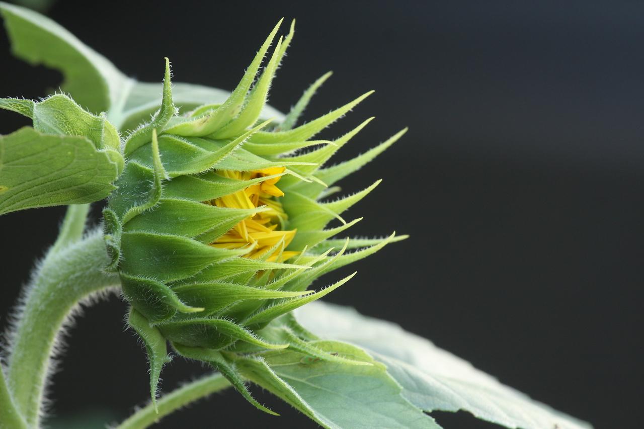 IMG4_29157 sunflower bloom progression