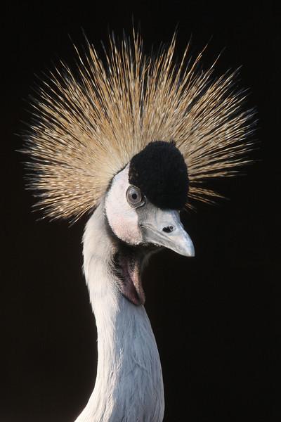 IMG4_31139 East African Crowned Crane DPPtrm