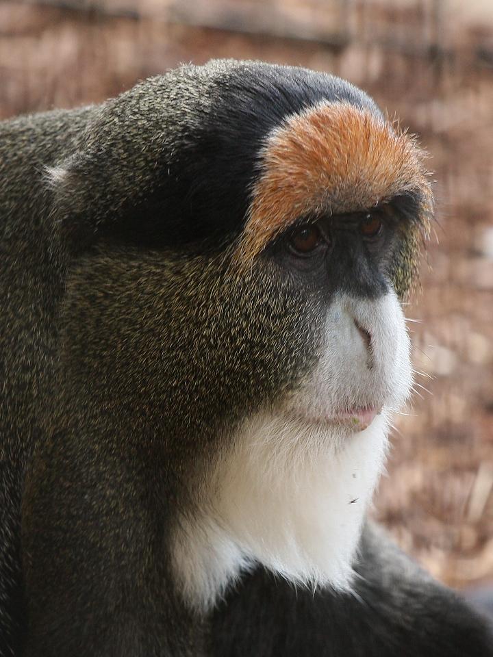 IMG4_31066 DeBrazza Guenon Monkey trmDPP