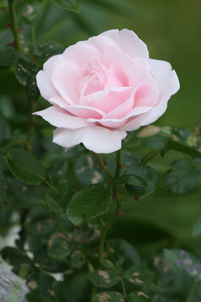 IMG4_27719 Rose Flower
