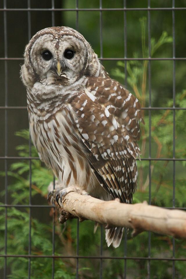 IMG4_30971 Barred owl DPPtrm