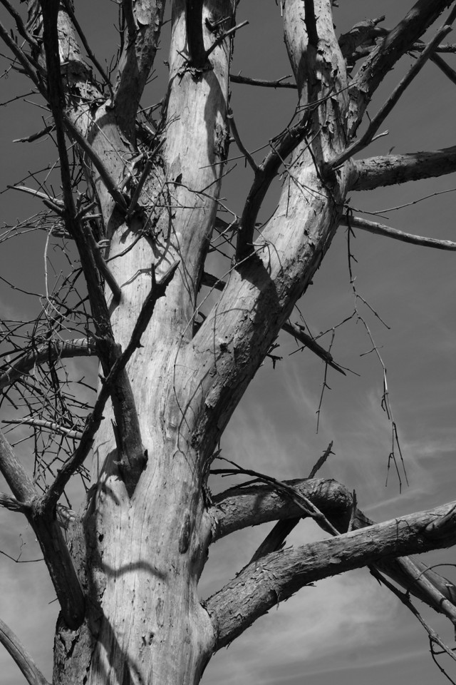 IMG_8643 Tree detail at Odiorne SP bw DPP