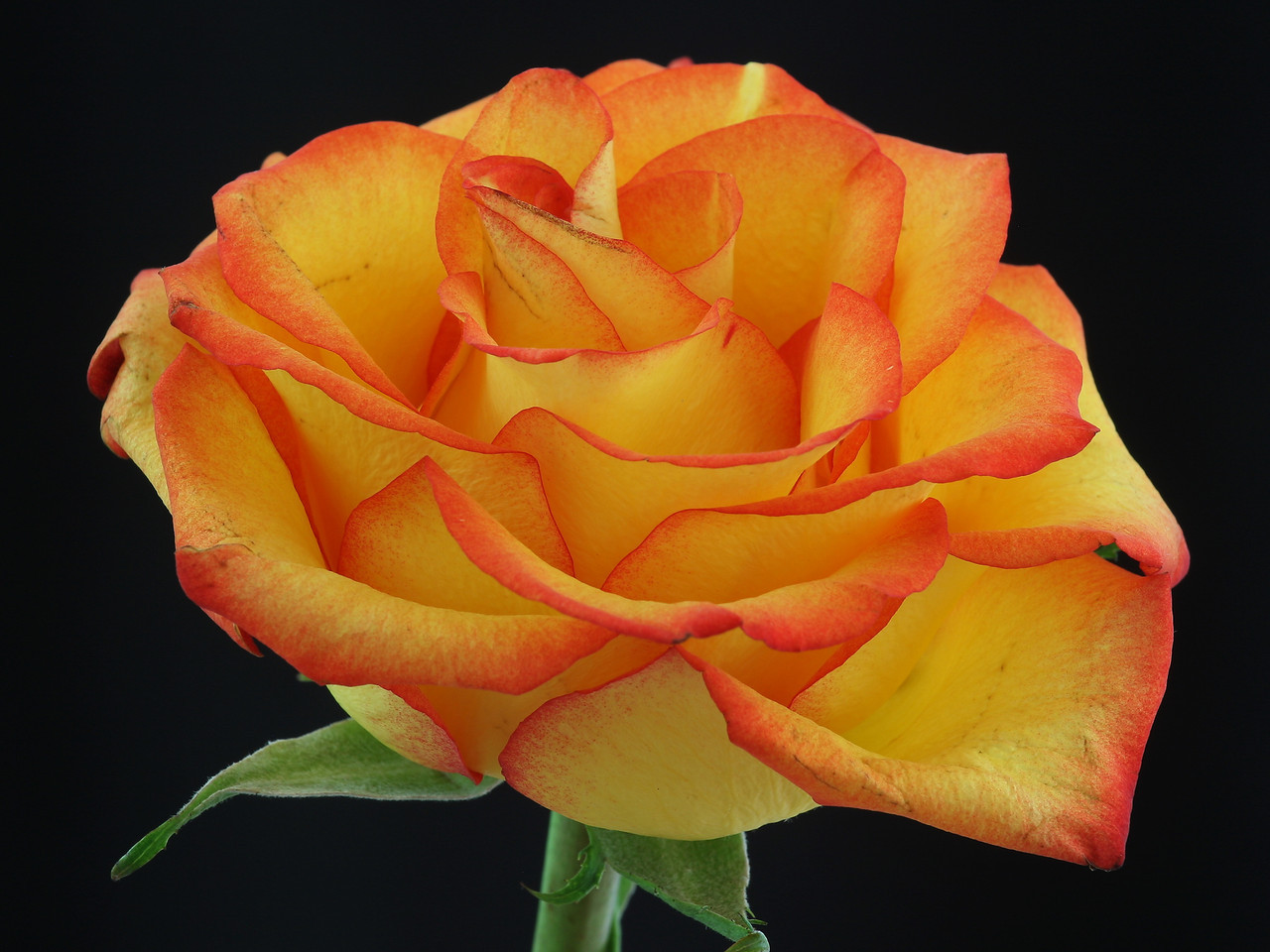 IMG4_30435 Rose flower DPPtrm