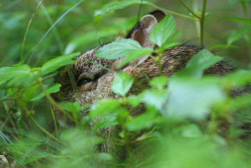 IMG4_39127 baby rabbit hiding dpp