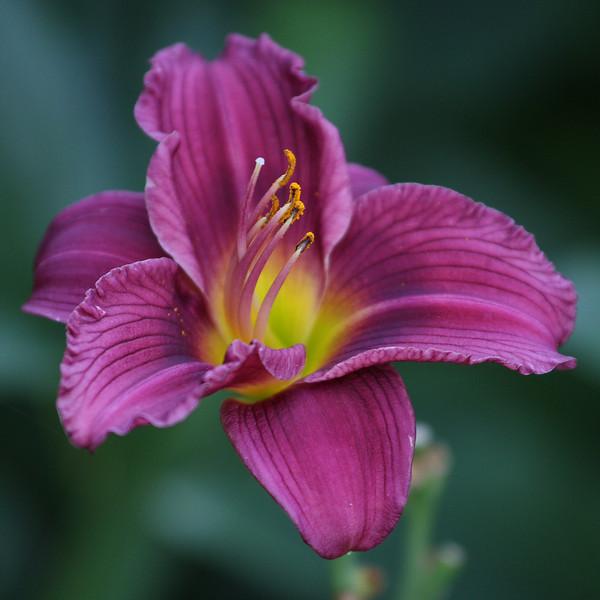 IMG4_38939 purple lilly flower dpptrm