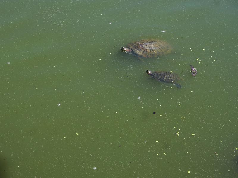 IMG_9635 JPG Turtles Central Park DPPtrm