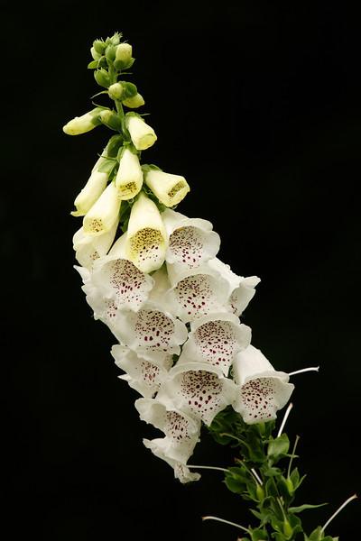 IMG4_38163 White Foxglove flower DPP