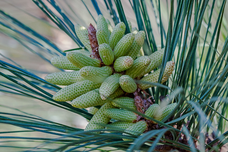 New Blooms on TX Pine Tree