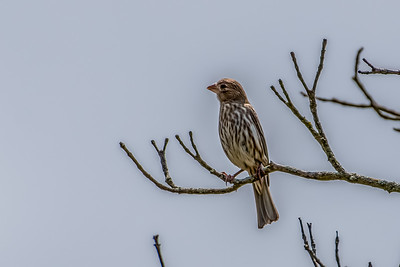 House Finch (Female/Immature)