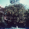 Joe Bodin's orange tree. Herman & Gertrude's wedding, Kingsville, 1939